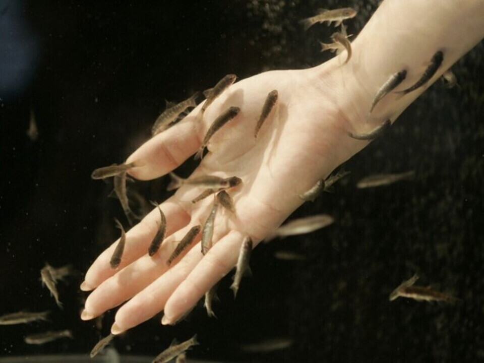 Egzotiškas Kangalo žuvelių SPA ir rankų masažas