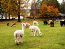 Pasiūlymas šeimai: Stebuklingos alpakos (2+2)